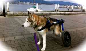 Has your dog become a real drag? Give him mobility! Get his butt in a dog cart!