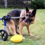 Jake in his Walkin Wheels cart