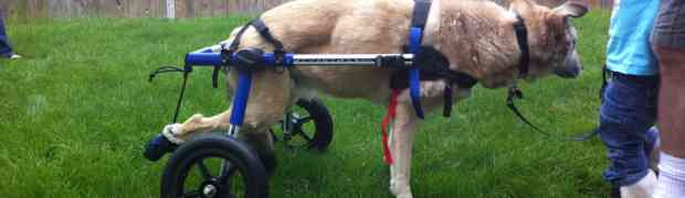 Typical Problems with a Dog Wheelchair