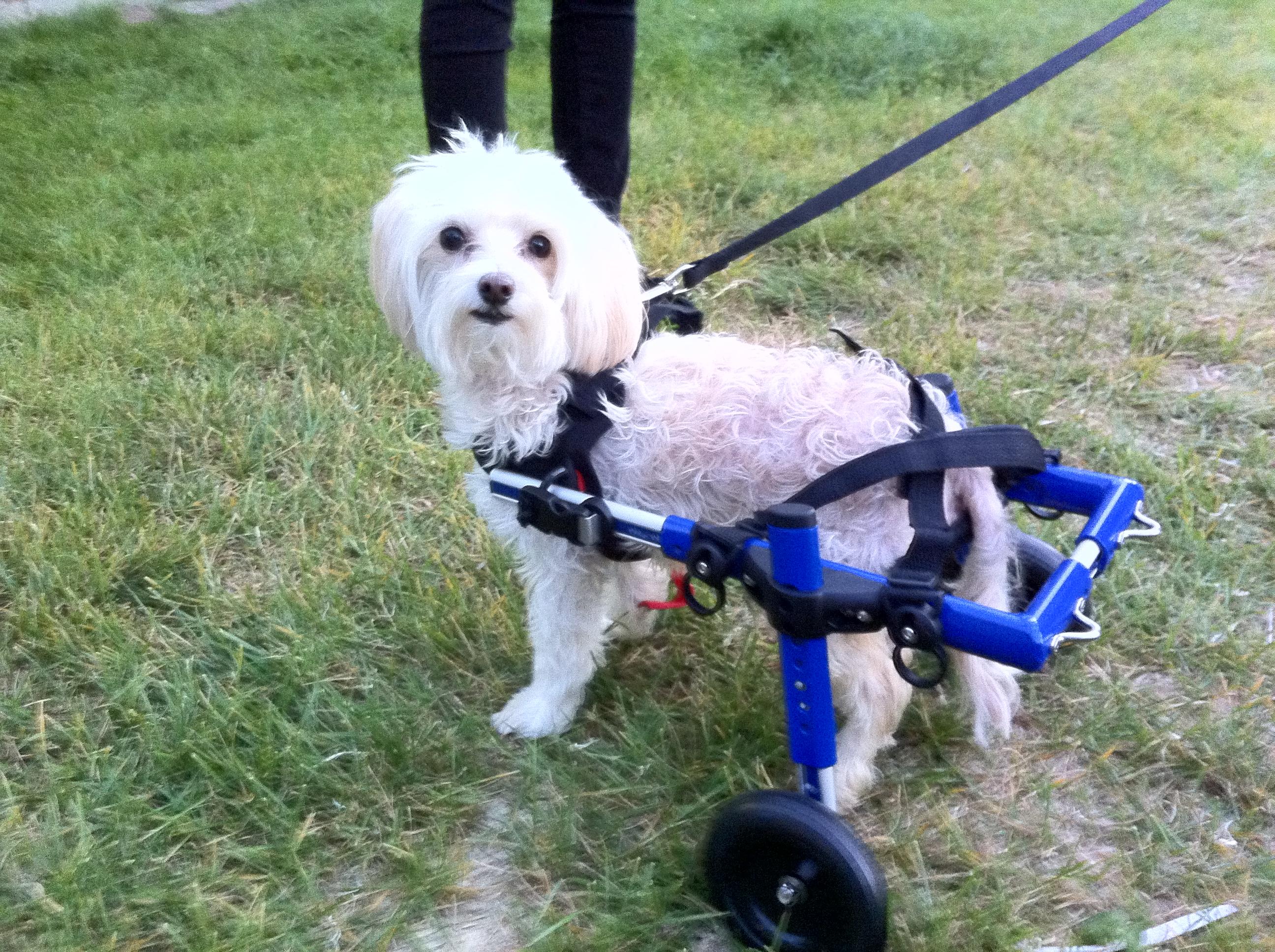 Walkin Wheels Mini Dog Wheelchairs Dog Carts