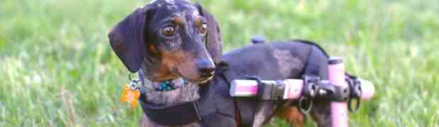 Wellness Wednesdays-Molly the Dachshund's New Cart