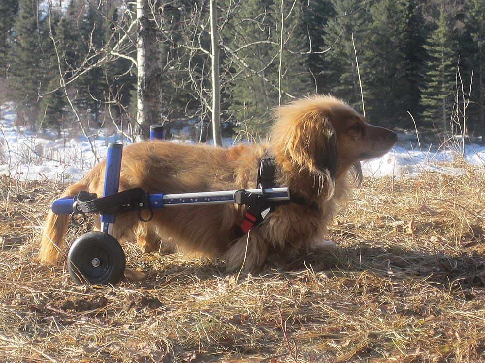 dog wheelchair cat wheelchair walkin wheels dog wheelchairs dog