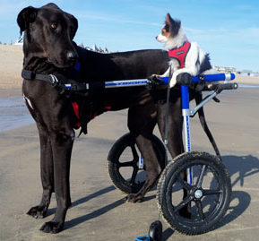 Dog Wheelchair Walkin Wheels Dog Wheelchairs Dog Carts