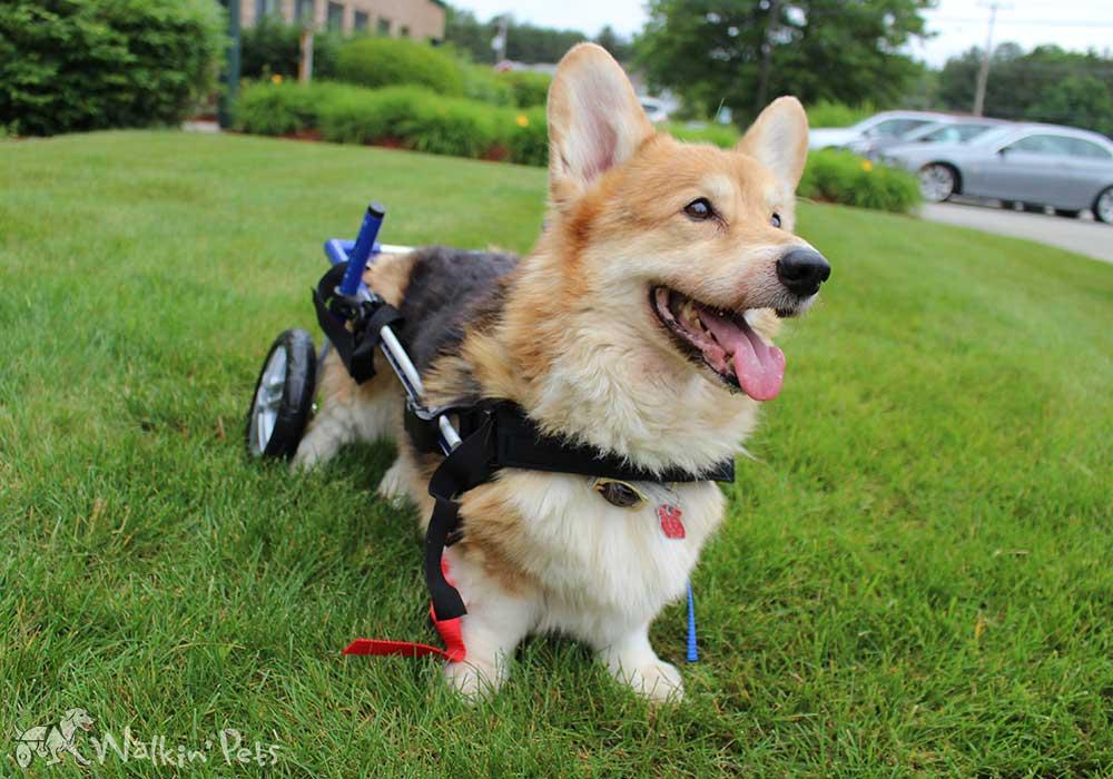 Walkin Wheels Corgi Dog Wheelchair | Dog Wheelchairs, Dog