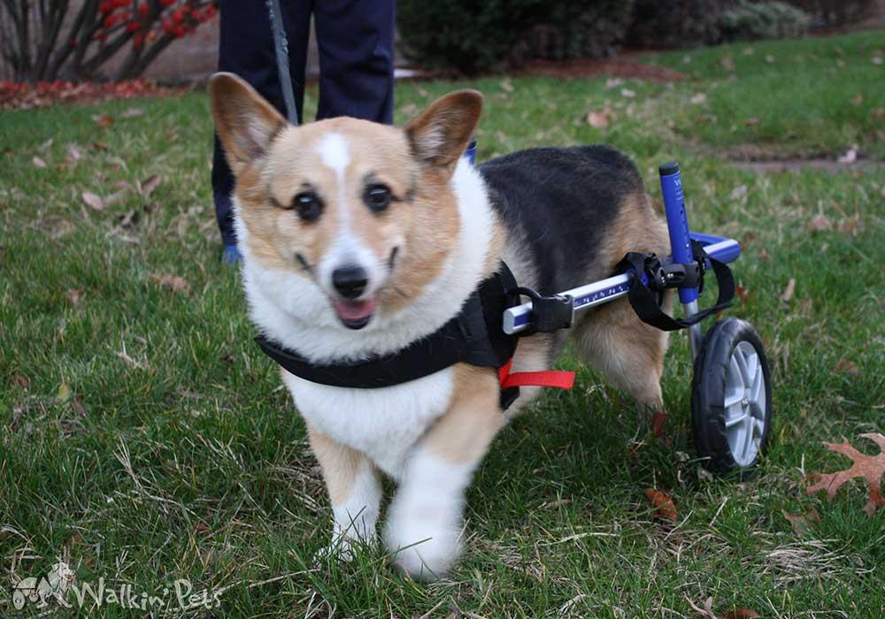 Dog Wheelchair Cat Wheelchair, Walkin' Wheels | Dog